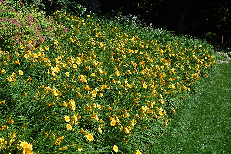 Happy Ever Appster Happy Returns Daylily (Hemerocallis 'Happy Returns') at Bedford Fields