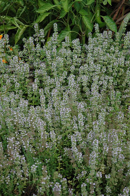 Miniature Thyme (Thymus praecox 'Minus') at Bedford Fields