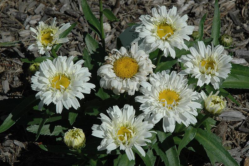 Freak! Shasta Daisy (Leucanthemum x superbum 'Freak!') at Bedford Fields