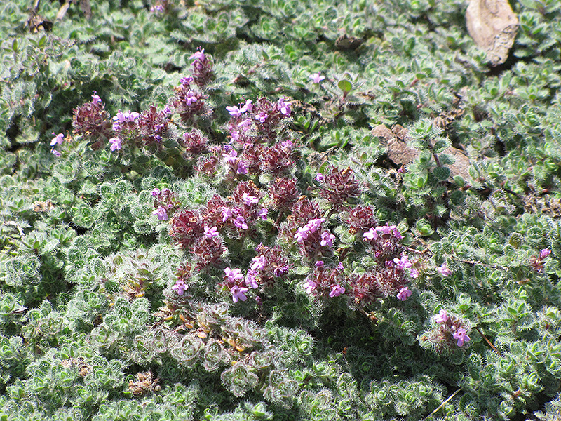 Wooly Thyme (Thymus pseudolanuginosis) at Bedford Fields