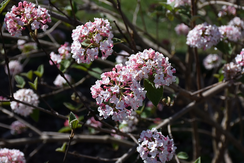 Koreanspice viburnum viburnum carlesii in manchester bedford new koreanspice viburnum viburnum carlesii at bedford fields koreanspice viburnum flowers mightylinksfo
