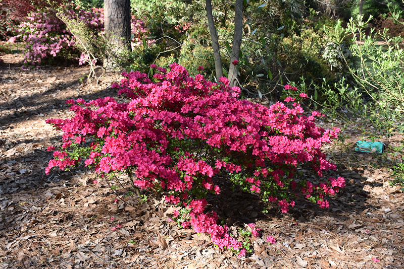 Girard's Fuchsia Evergreen Azalea (Rhododendron 'Girard's Fuchsia') at Bedford Fields
