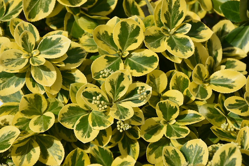 Gold Splash Wintercreeper (Euonymus fortunei 'Roemertwo') at Bedford Fields
