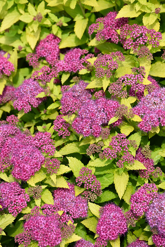Double Play Gold Spirea (Spiraea japonica 'Yan') at Bedford Fields