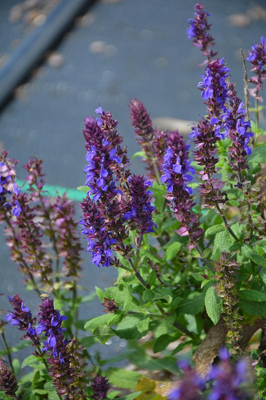 New Dimension Blue Sage (Salvia nemorosa 'PAS889972') at Bedford Fields