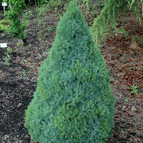 Dwarf Conifer Photo