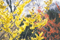 Arnold Promise Witchhazel (Hamamelis x intermedia 'Arnold Promise') at Bedford Fields