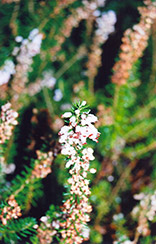 Scotch Heather (Calluna vulgaris) at Bedford Fields