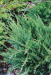Sea Green Juniper (Juniperus chinensis 'Sea Green') at Bedford Fields