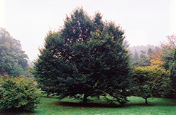 European Hornbeam (Carpinus betulus) at Bedford Fields