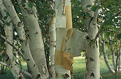 Prairie Dream Paper Birch (Betula papyrifera 'Varen') at Bedford Fields