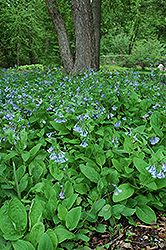 Virginia Bluebells (Mertensia virginica) at Bedford Fields