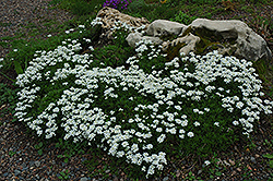Candytuft (Iberis sempervirens) at Bedford Fields