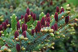 Red Cone Spruce (Picea abies 'Acrocona') at Bedford Fields