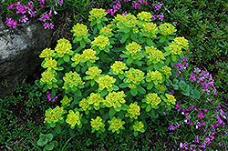 Cushion Spurge (Euphorbia polychroma) at Bedford Fields