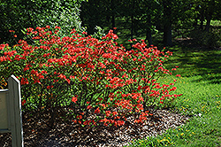 Mandarin Lights Azalea (Rhododendron 'Mandarin Lights') at Bedford Fields