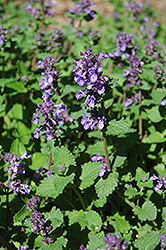 Dropmore Blue Catmint (Nepeta x faassenii 'Dropmore Blue') at Bedford Fields
