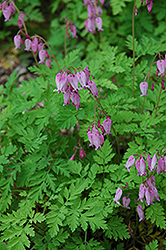 Bleeding Heart (Dicentra eximia) at Bedford Fields