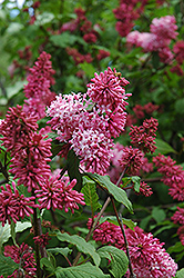 Nocturne Lilac (Syringa x prestoniae 'Nocturne') at Bedford Fields