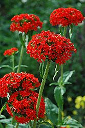 Maltese Cross (Lychnis chalcedonica) at Bedford Fields