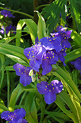 Sweet Kate Spiderwort (Tradescantia x andersoniana 'Sweet Kate') at Bedford Fields