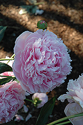 Shirley Temple Peony (Paeonia 'Shirley Temple') at Bedford Fields
