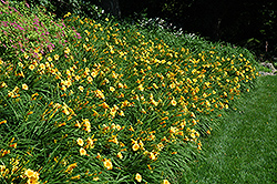 Happy Ever Appster® Happy Returns Daylily (Hemerocallis 'Happy Returns') at Bedford Fields