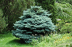 Globe Blue Spruce (Picea pungens 'Globosa') at Bedford Fields