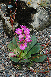 Bitterroot (Lewisia cotyledon) at Bedford Fields