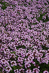 Red Creeping Thyme (Thymus praecox 'Coccineus') at Bedford Fields
