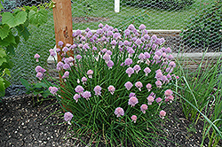 Chives (Allium schoenoprasum) at Bedford Fields
