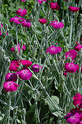 Rose Campion (Lychnis coronaria) at Bedford Fields