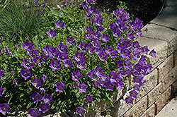 Blue Clips Bellflower (Campanula carpatica 'Blue Clips') at Bedford Fields