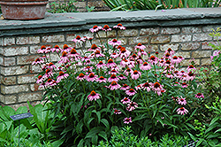 Magnus Coneflower (Echinacea purpurea 'Magnus') at Bedford Fields
