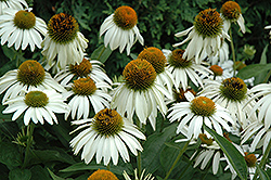 White Swan Coneflower (Echinacea purpurea 'White Swan') at Bedford Fields