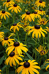 Goldsturm Coneflower (Rudbeckia fulgida 'Goldsturm') at Bedford Fields