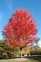 Autumn Blaze Maple (Acer x freemanii 'Jeffersred') at Bedford Fields