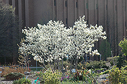 Autumn Brilliance Serviceberry (Amelanchier x grandiflora 'Autumn Brilliance') at Bedford Fields