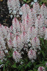 Spring Symphony Foamflower (Tiarella 'Spring Symphony') at Bedford Fields