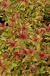 Goldflame Spirea (Spiraea x bumalda 'Goldflame') at Bedford Fields