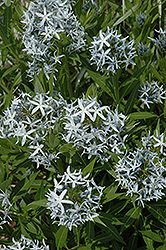 Blue Star Flower (Amsonia tabernaemontana) at Bedford Fields