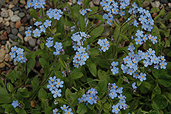 Forget-Me-Not (Myosotis sylvatica) at Bedford Fields