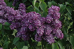 Yankee Doodle Lilac (Syringa vulgaris 'Yankee Doodle') at Bedford Fields