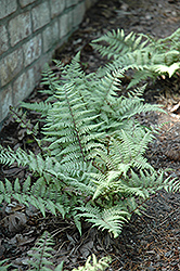 Ghost Fern (Athyrium 'Ghost') at Bedford Fields