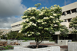 Ivory Silk Japanese Tree Lilac (Syringa reticulata 'Ivory Silk') at Bedford Fields
