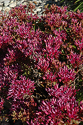 Dragon's Blood Stonecrop (Sedum spurium) at Bedford Fields
