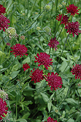 Crimson Scabious (Knautia macedonica) at Bedford Fields