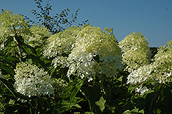 Phantom Hydrangea (Hydrangea paniculata 'Phantom') at Bedford Fields