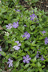 Common Periwinkle (Vinca minor) at Bedford Fields
