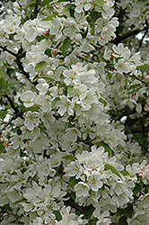 Donald Wyman Flowering Crab (Malus 'Donald Wyman') at Bedford Fields